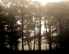Morning Mist: Mist and trees backlit by the rising sun.