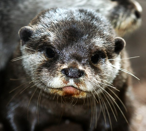 European Otter: An otter from the Lake District, UK.