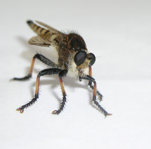 Robber Fly: no idea what this was at the time, but he was neat looking!!! so i had to catch him in a little bowl and then make him pose for me!! not an easy feat when your scared of bugs!!!