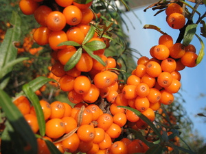 Sea-Buckthorn: Lots of vitamins and antioxidants packed in little space...