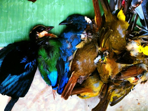 Fresh from the market...: Gorgeous birds- Laos-