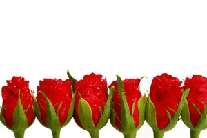 Roses in Line: A line of red roses against a white background