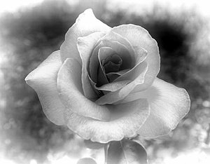 Black and White Rose: Rose edited in greyscale. An old fashioned, Victorian effect.