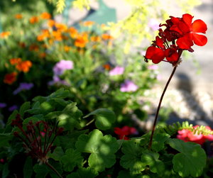 Red Geranium: A pretty red geranium hiding in a shaded spot in the garden. You may like:  http://www.rgbstock.com/photo/nIH38BQ/Red+Orchid  or:  http://www.rgbstock.com/photo/mqScdHm/Abstract+Rose+4