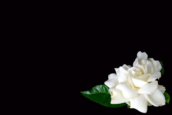 Gardenia on Black: A gardenia in the corner of a black background. Lots of copyspace.
