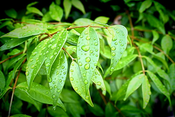 Leaves With Raindrops: Green leaves with raindrops make a refreshing and pretty image.