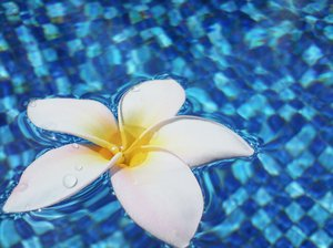 Frangipani in Water 1: Frangipani flowers on a swimming pool surface.