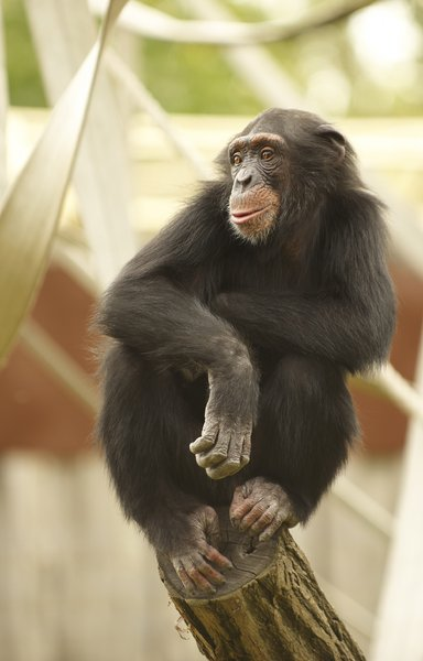 Chimpanzee: chimpanzee sitting on the top of a wooden log