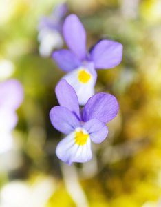 Tiny wild violets: The tiniest wild flowers