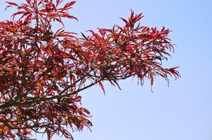 Red tree branch: tree branch against blue sky