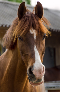 Horse head: Browne horse portrait