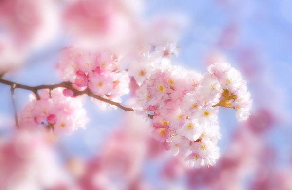 The softest blossoms: Sweet pink spring blossoms