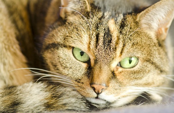 Green eyed purrrrr: tabby cat close-up