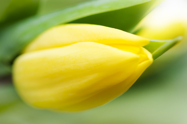 Yellow tulip: yellow tulip soft focus