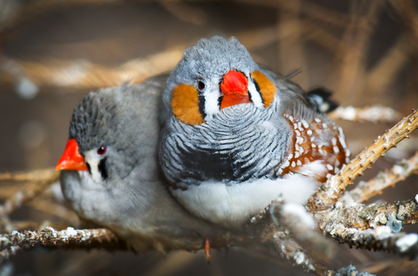 Two colored birds: two finches