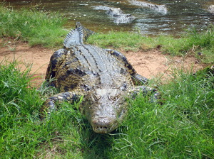 Lurking Crocodile: this photo was taking at a Crocodile sanctuary in Kwazulu Natal South Africa.