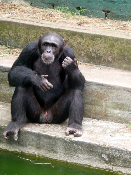 Chimp on steps: This chimp was relaxing on some steps in a zoo in Kwazulu Natal South Africa.