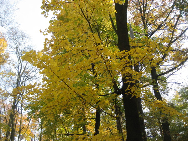 Yellow Trees in Poland