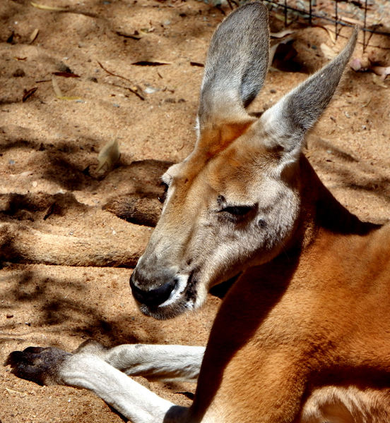 relaxed red kangaroo1
