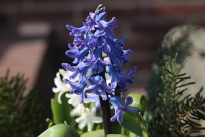 Purple Hyacinth: Purple Hyacinth in front of a house