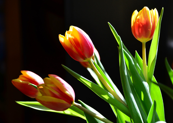 spring tulips: spring tulips