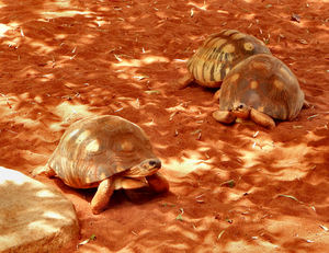 tortoise camouflage2: radiated-tortoise slowly moving forward under mixed sunlight and shade
