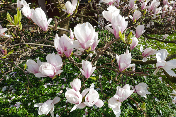 magnolia blossoms in sunlight