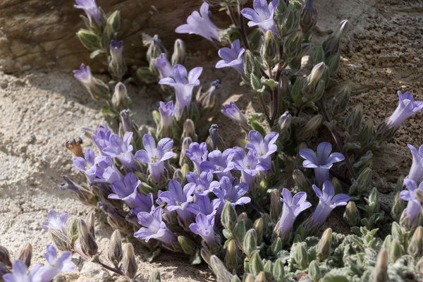 Campanula flowers: Wild Campanula andrewsii growing on an ancient wall at Mystras, Greece.