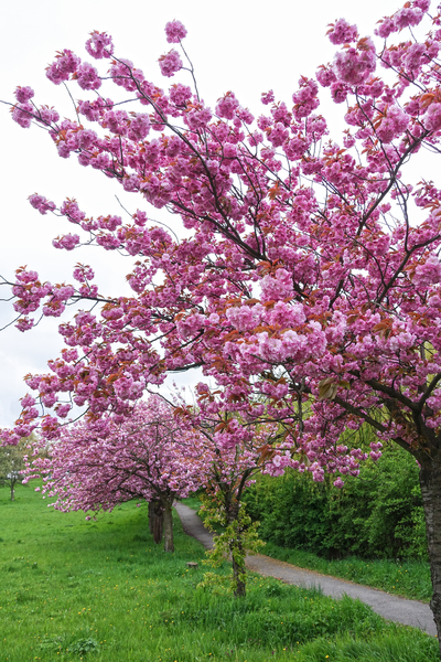 blossoming cherry trees 2