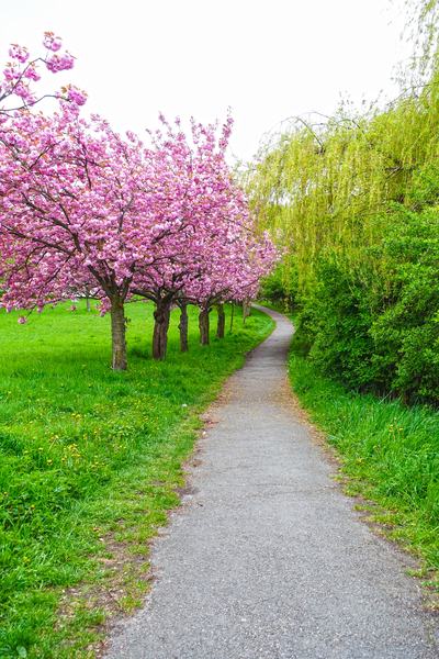 blossoming cherry trees 4