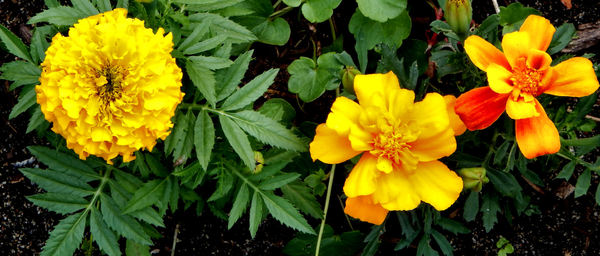 garden marigolds2: marigold varieties in suburban backyard garden