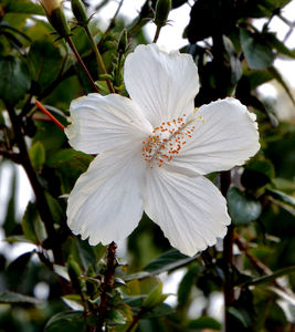 white hibiscus1: flowering white hibiscus