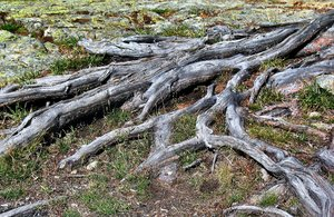Well rooted...: Wathered roots-