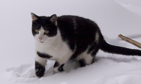 Cat in the snow (3).: A cat in the snow.