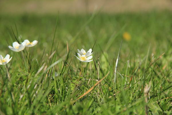 Spring Anemones: Anemones in the grass, grasping the sun.