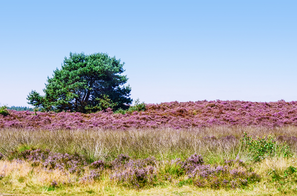 August heather field