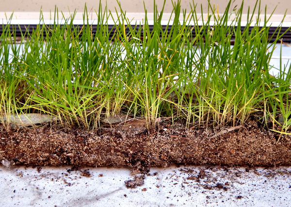strip of grass in mulch3.