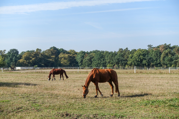 grazing brown horses
