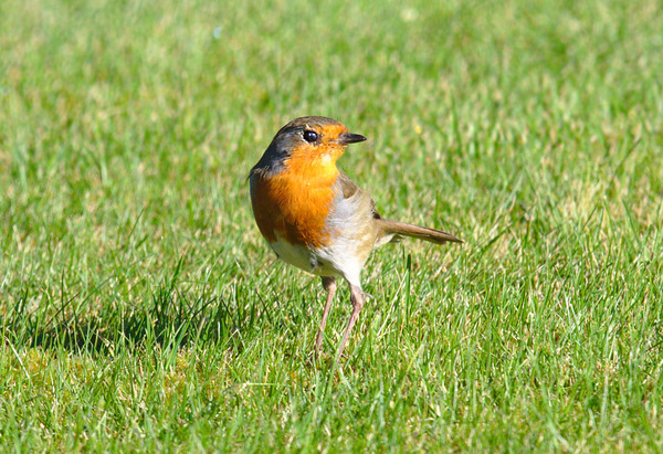 Robin Red Breast: Robin