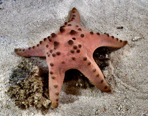 starfish on the move1