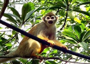 squirrel monkey3: small common squirrel monkey free ranging in tourist area