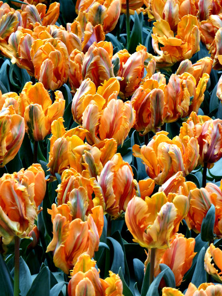 flower dome tulip display19