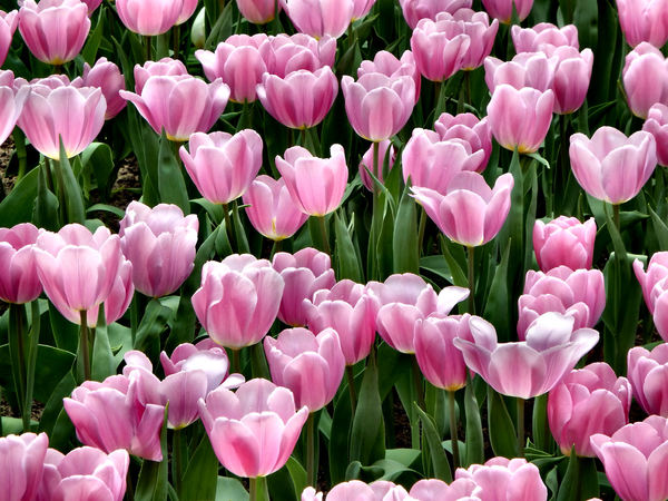 flower dome tulip display23