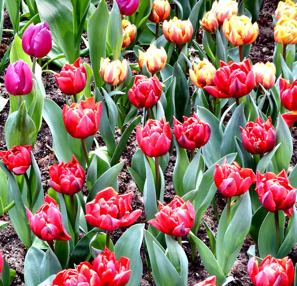 flower dome tulip display22