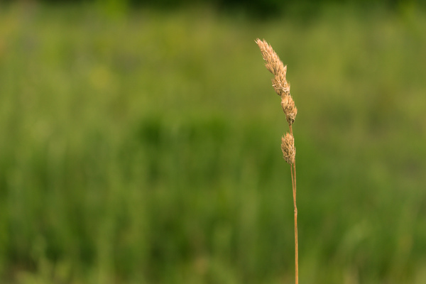 Meadow: Dry blade of grass