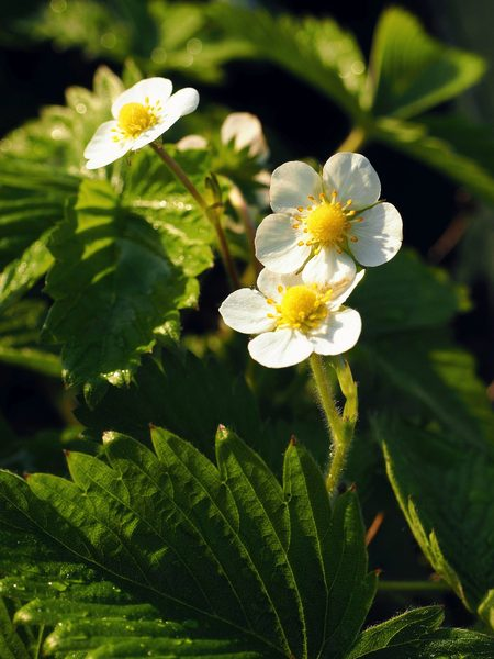 In the wild-: Strawberry flowers in fresh air- after some rain-
