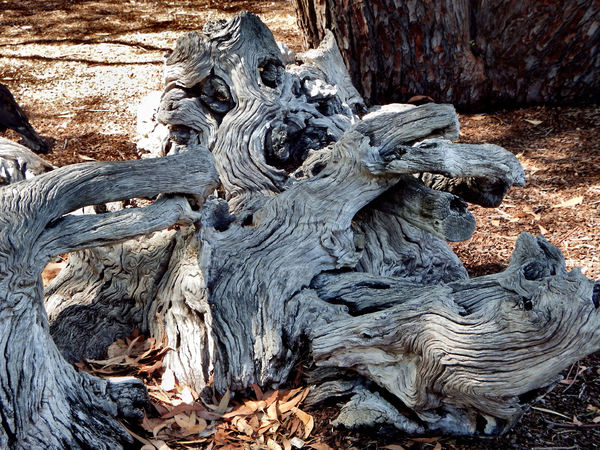 gnarled & knotted tree stump2: abstract textured gnarled shape of long dead tree stump