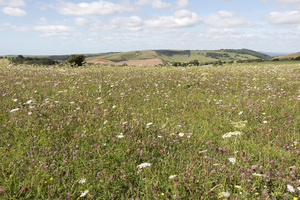 Wild flower meadow: A wild flower meadow on the South Downs, East Sussex, England, in summer.