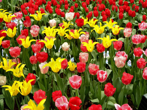 flower dome tulip display26