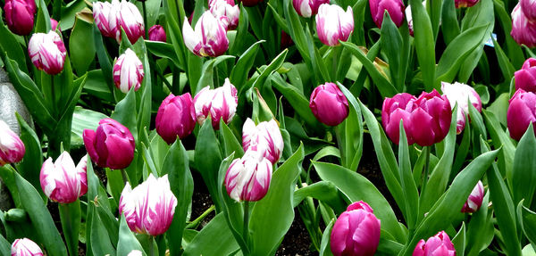 flower dome tulip display30